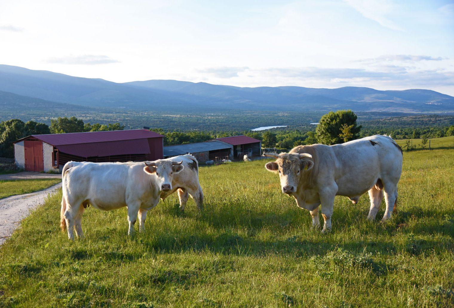 ganadería charolesa los jaimes madrid