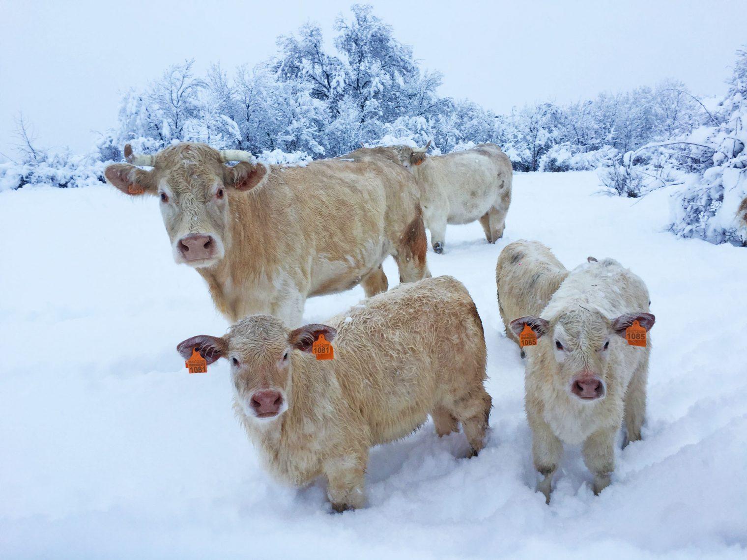 nieve ganadería charolesa los jaimes sierra de madrid