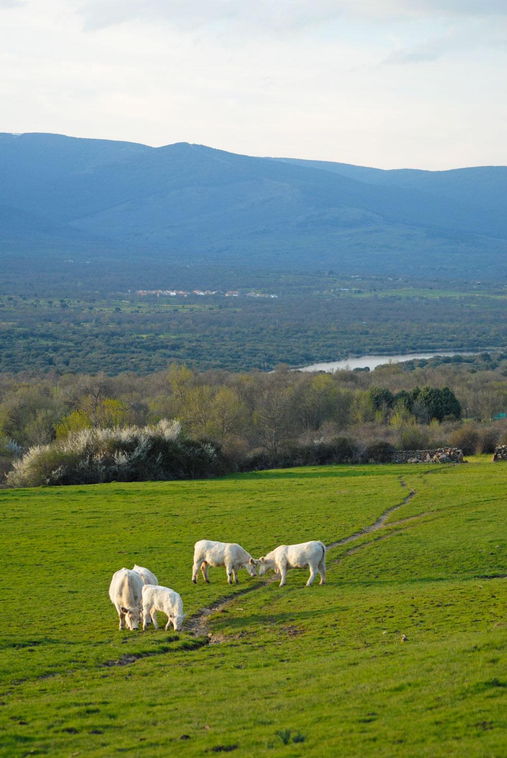 ganadería charolesa los jaimes